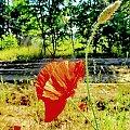 Świat ciepłych barw - nasza droga... #mak #kwiat