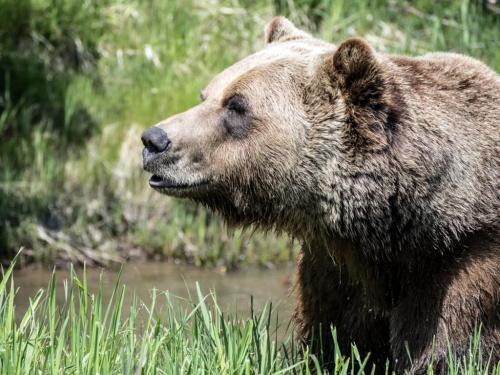 Dla Krzysztof 50, grizzly