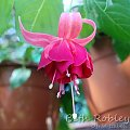 fuchsia Beth Robley #fuchsia #fuksje #kwiaty