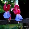 fuchsia Party Frock #fuchsia #fuksje #kwiaty