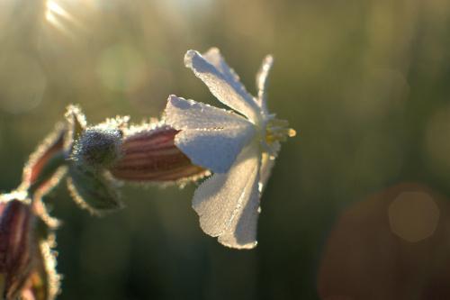 Poranna rosa #kwiat