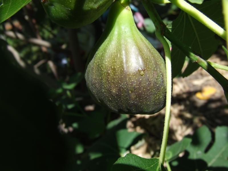 Инжир выращивание в домашних условиях в украине 46