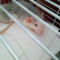Ofelia #szczur #szczury