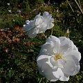 White Cocade #róże