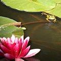 Księżniczka:) #żaba #żaby #grzybienie #woda #staw #lato