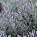 #fiolet #lawenda #natura #ogród #przyroda
