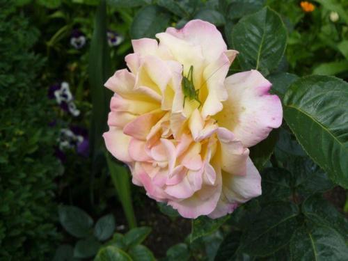 Mmm..ależ ta różyczka cudownie pachnie ;)