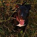spacer #amstaff #szczeniak #zwierzęta