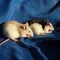 Szczurki #Szczur