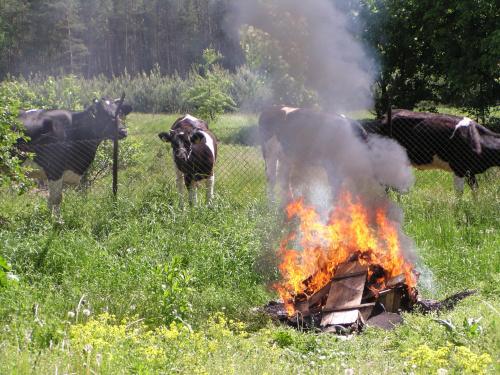 ognisko krowy #krowy #ogień #ognisko #zwierzęta