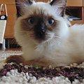 #koty #ragdoll