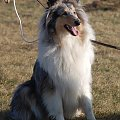 #collie #psy