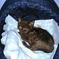 19-02-2015 Bidula po kroplówce i odrobaczeniu. #kot #kocur #brytyjczyk #grazkoty #hodowla #Rzeszów