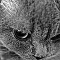 #brytyjski #kot