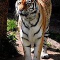Tygrys w łódzkim ZOO #tygrys #zoo #łódź