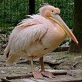 Pelikan w krakowskim ZOO #pelikan #zoo #kraków