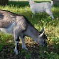 kozy 22.04.2015 #kozy #zwierzęta