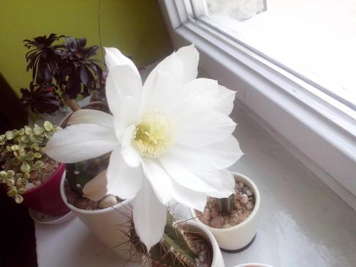 white flower_Echinopsis subdenudata